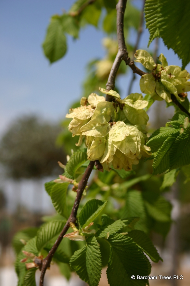 The flowers of Ulmus glabra Camperdownii in detail