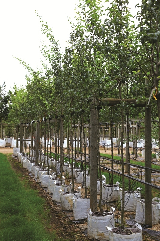 Pyrus Doyenne du Comice in foliage on the Barcham Trees nursery