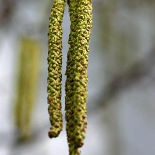 Betula utilis Jacquemontii catkins