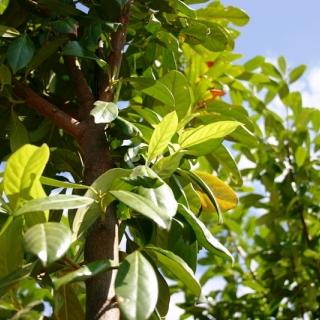 Prunus laurocerasus Novita on the row of the Barcham Trees nursery The lush green foliage of Cherry Laurel Tree