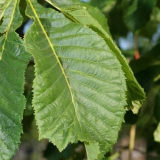 Large leaves of Aesculus x carnea Briotti