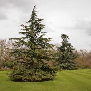 Mature Atlas Cedar
