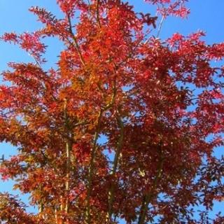 The flame orange colour in autumn