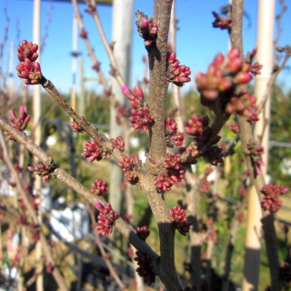 The buds of Cercis Chinensis Avondale multi-stem in detail