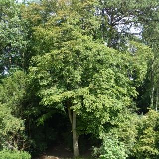 Mature Carpinus betulus at westonbirt arboretum