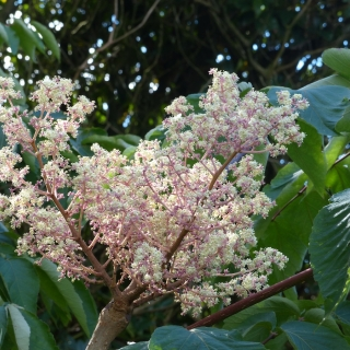 The flowers of the Angelica Tree