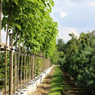 Catalpa bignonioides on the row at Barcham Trees