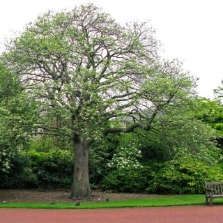 A mature specimen of Sorbus intermedia Brouwers in a parkland environment