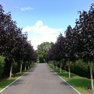 An avenue of Acer platanoides Crimson King planted by a client