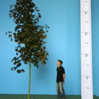 Scaled image of Acer plantanoides Royal Red size Medium