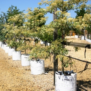 Cornus controversa Variegata on the row of the Barcham Trees nursery