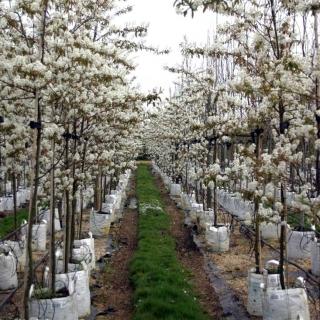 Profuse white flowers covering Amelanchier lamarckii