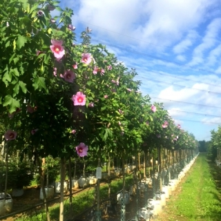 Rose of Sharon Tree Half standard