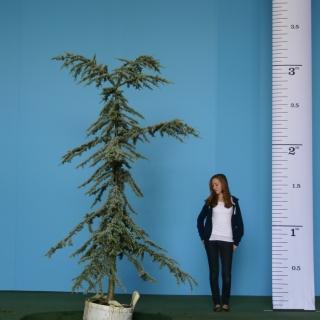Scaled, medium sized specimen of Cedrus atlantica Glauca