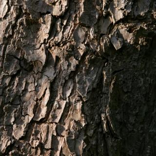 Catalpa bignonioides bark