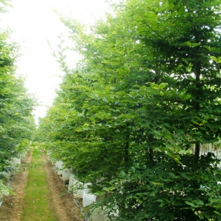 Carpinus betulus in summer months