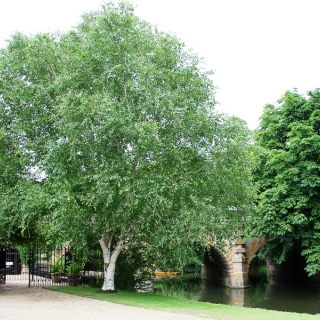 Mature Betula utilis Jacquemontii planted in the landscape