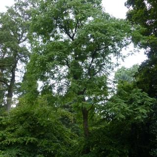 Mature Koelreuteria paniculata at Westonbirt Arboretum