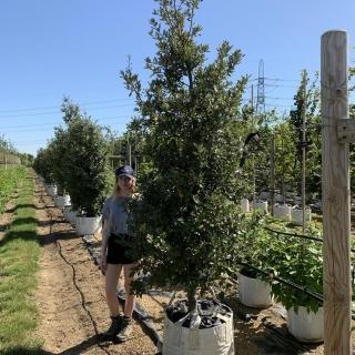 Medium feathered Quercus ilex