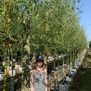 Medium Salix alba Chermesina