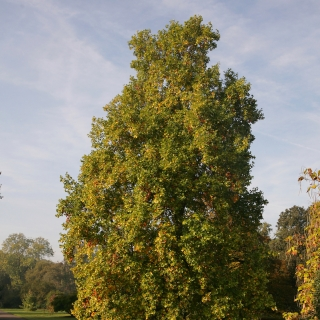 Mature specimen of Platanus x hispanica on the Barcham Trees nursery