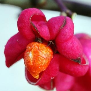 Red Cascade flower in detail