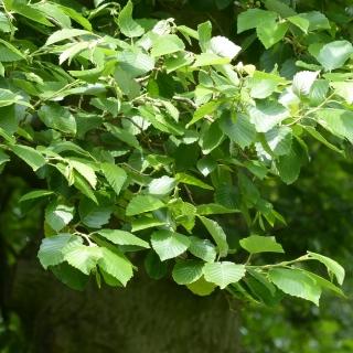 Foliage of Alnus incana