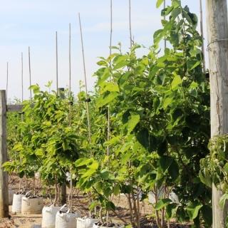 Cornus kousa Eddie White Wonder on the Barcham Trees nursery