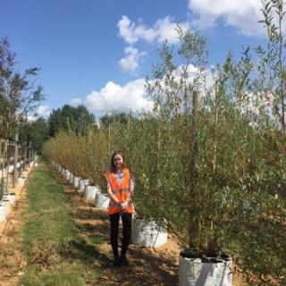 Medium Salix alba Chermesina multi stem