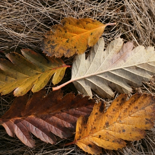 Sorbus intermedia Brouwers autumn colour
