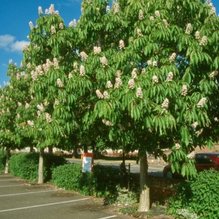 Mature specimens of Aesculs indica in an urban environment