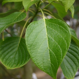 Cornus controversa foliage