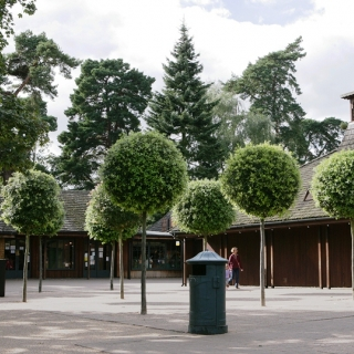 Quercus ilex topiary planted in a paved area