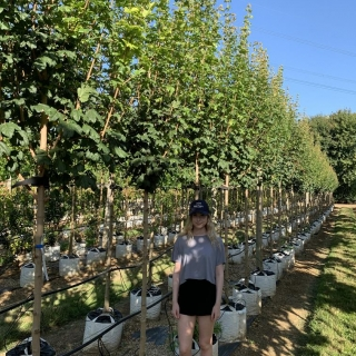 Acer campestre Lienco on the Barcham Trees nursery