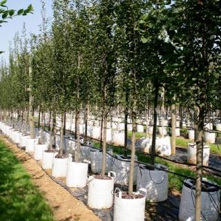 Standard Carpinus betulus Frans Fontaine on the Barcham Trees nursery
