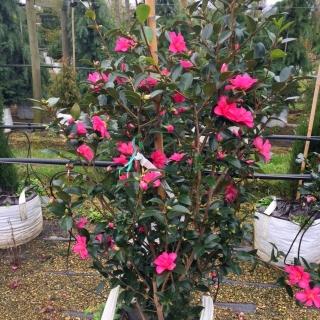 Camellia sasanqua Cleopatra in flower