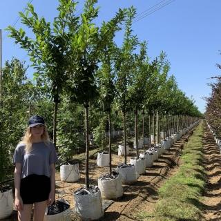 Prunus laurocerasus Novita