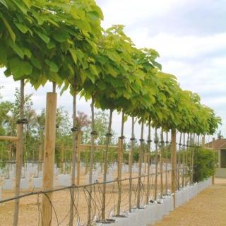 Catalpa bignoniodes Aurea on the Barcham Trees nursery