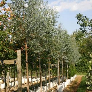 Eucalpytus gunnii on the Barcham Trees nursery