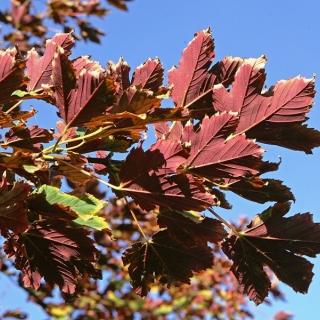 Acer pseudoplatanus Spaethii foliage