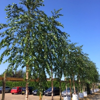 Semi mature river birch, stunning against the blue sky