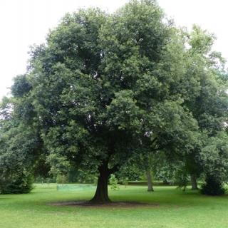 Mature Quercus ilex at Kew Gardens