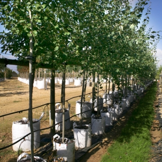 Populus tremula on the nursery at Barcham Trees in full summer foliage