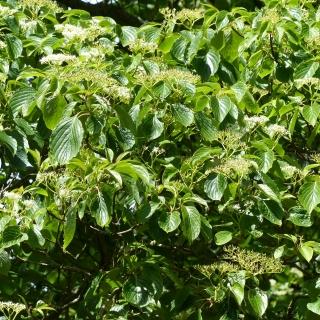 The creamy white flowers and foliage of Cornus controversa