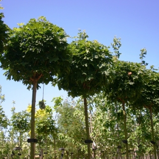 Crowns of Acer platanoides Globosum on the nursery