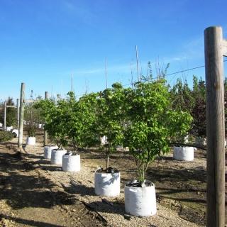 Cornus kousa Milky Way on the Barcham Trees nursery