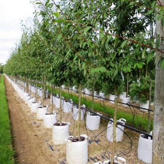 Cotoneaster cornubia in summer foliage on the Barcham Trees nursery