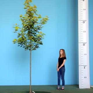Scaled image of Acer pseudoplatanus Worleii size Medium