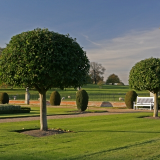 Half standard, Small, specimens of Prunus lusitanica on the Barcham Trees nursery Mature specimen of Prunus lusitanica in a manicured garden environment Prunus lusitanica in flower