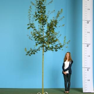 Scaled image of Acer campestre size Medium